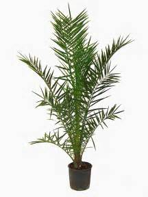 Topiary Planter - phoenix canariensis date palm for sale online buy now totally plants
