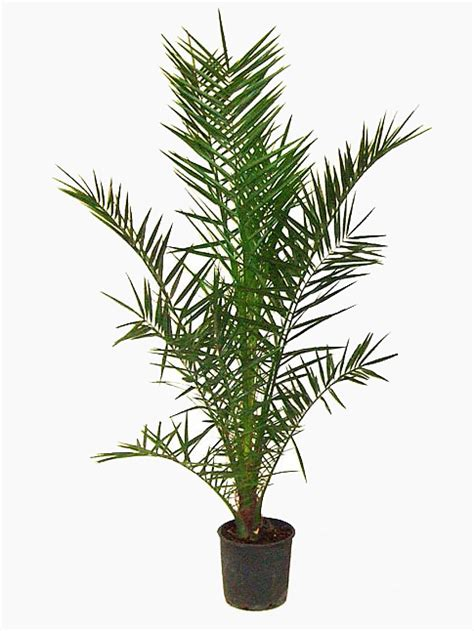 No Sun Plants Indoor by Phoenix Canariensis Date Palm For Sale Online Buy Now