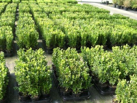 heckenpflanzen immergrün winterhart schnellwachsend 67 m 246 bel pflanzen b 246 ring f 252 r garten balkon g 252 nstig