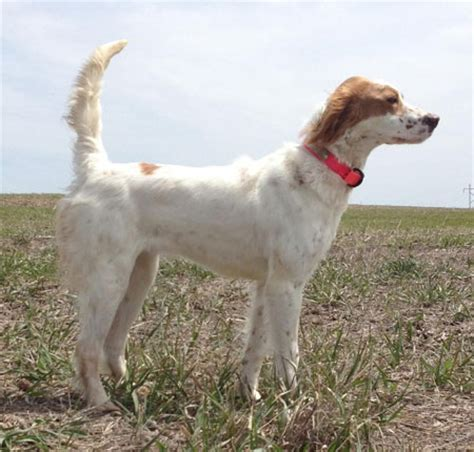 trained english setter hunting dogs for sale english setter dogs for sale outback kennels