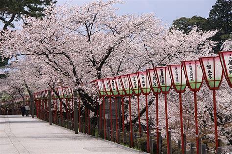 St Green Blossom cherry blossom report 2013 kanazawa report