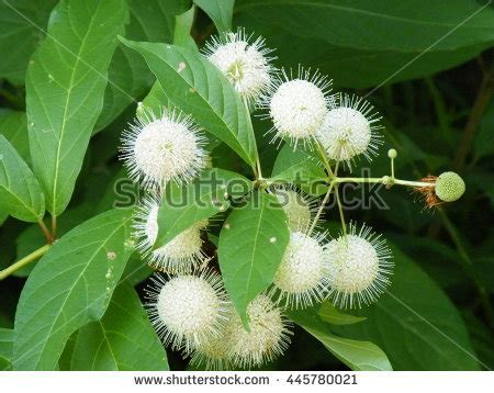 decorative spiky balls an inflorescence stock photos images pictures
