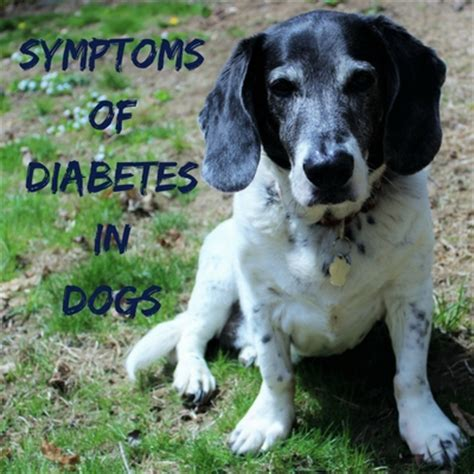 diabetes in dogs symptoms symptoms of diabetes in dogs caring for a senior