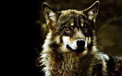 hd wallpapers 1920x1080 wolf gray wolf wallpapers wallpaper cave