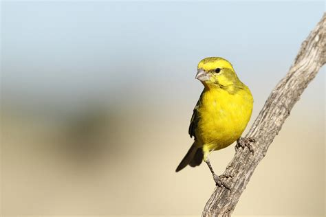 yellow canary bird wildlife photography by richard and