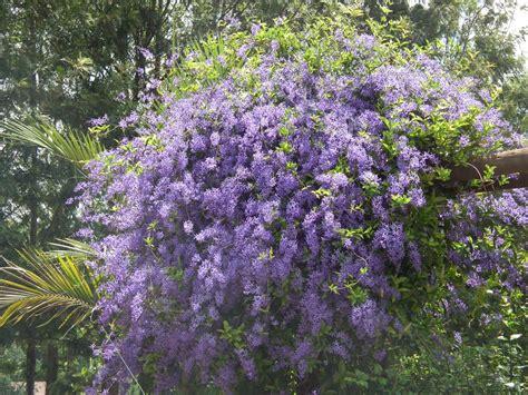 purple wreath plant galore garden centre