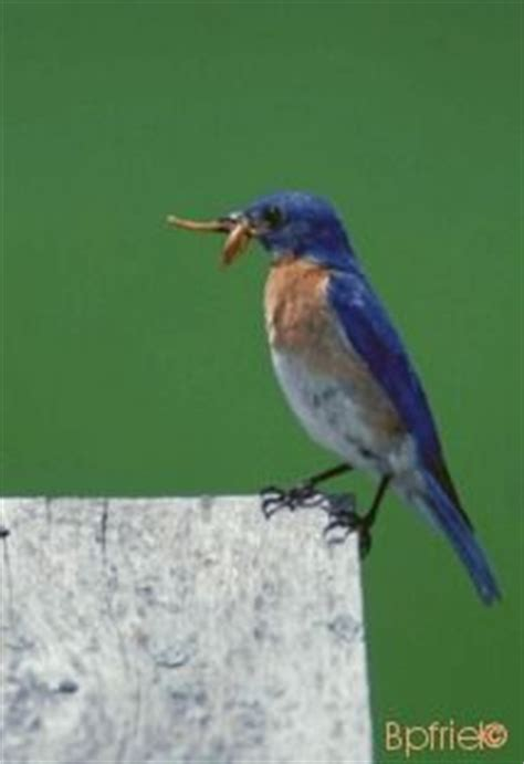 eastern bluebird birds pinterest
