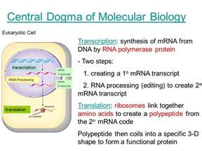 central dogma of molecular biology from genes to protein