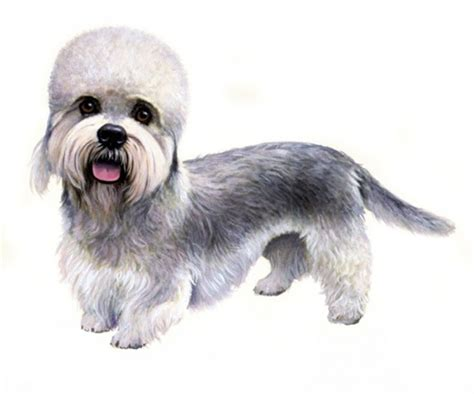 puppy dandie dinmont terrier puppy for your birthday dandie dinmont terrier pedigree 174