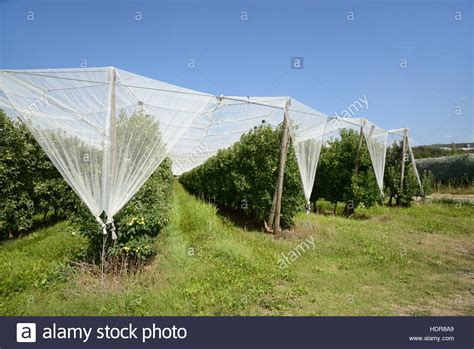 intensive apple agriculture orchard stock photos