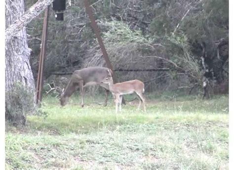 Deer Feeders Near Me Deer Running Our Path Picture Of Colorado