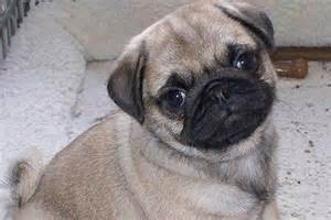 Pugs For Sale In Pug Puppies For Sale Bazar