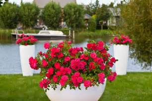 designing container gardens using flower carpet roses