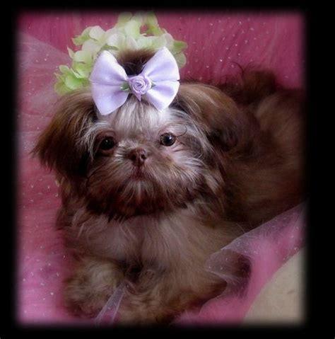 sweet tooth shih tzu 17 best ideas about shih tzu on shih tzu puppy shih tzu and baby shih tzu