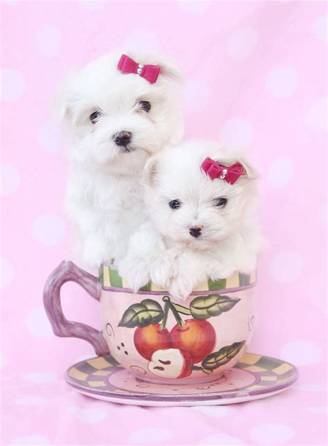 teacup puppies fort lauderdale 17 best images about adorable t cup puppies for sale on morkie puppies for
