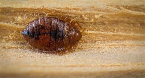 orkin bed bugs ick orkin entomologist claims more bed bugs in the us