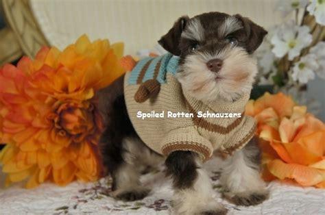 coccidia in puppies symptoms coccidia in puppies