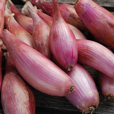 zebrune shallot seed savers exchange