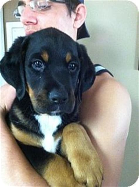 rottweiler bernese mix uno adopted puppy northville mi rottweiler bernese mountain mix
