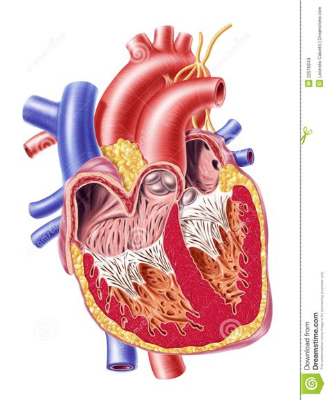 human heart cross section human heart cross section royalty free stock images