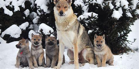 czechoslovakian wolfdog puppies czechoslovakian vlcak puppies www pixshark images galleries with a bite
