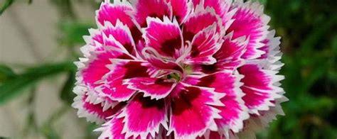 fiore garofano romait il fiore di novembre il garofano