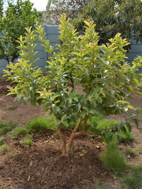 fruit trees for small backyards the 25 best guava tree ideas on pinterest guava vegetable recipe recipes of guava