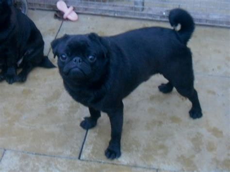 pug puppies leicester black pug leicester leicestershire pets4homes sale litle pups