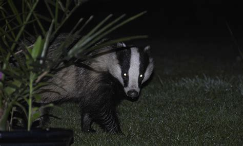 Patio Types File Badger In The Dark With Reflecting Eyes Jpg