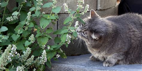 does catnip affect dogs what is catnip and what effect does it on cats tag