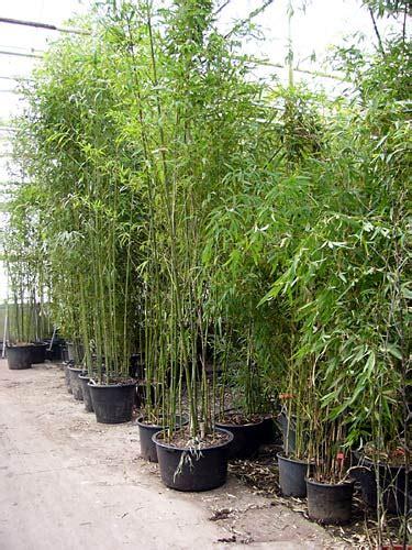 schilf pflanzen als sichtschutz 2158 bambus bambusline de 2 5m h 246 he ebay