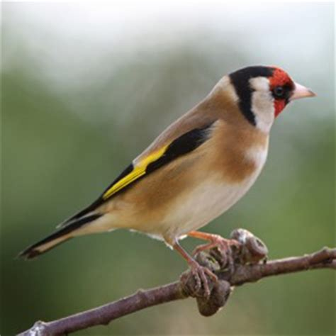 goldfinch facts goldfinch information twootz com