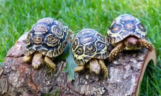baby leopard tortoise for sale pet leopard tortoise