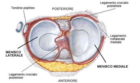 Corno Posteriore Menisco Interno by I Menischi Anatomia Medpoint