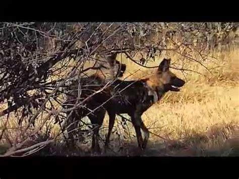 apareamiento animales salvajes apareamiento de perros salvajes