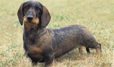 tekel pelo corto dachshund dog breed information