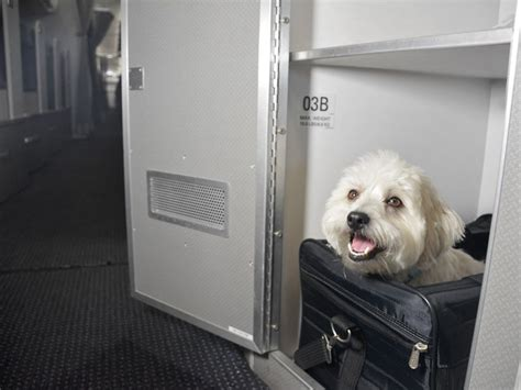 can pugs fly in cabin american airlines creates pet cabin petswelcome