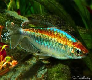 Blind Cave Tetra Tetras For Sale Aquariumfish Net