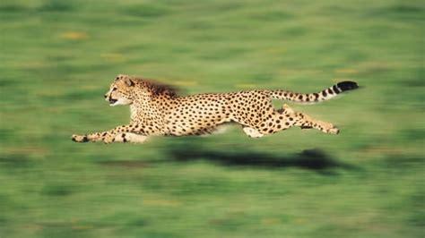 fastest animal  earth    cheetah