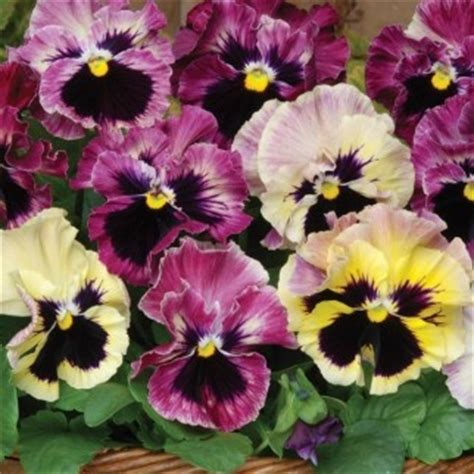 Best Quality Fizzi Collection 460001 264 best images about pansies and violas on