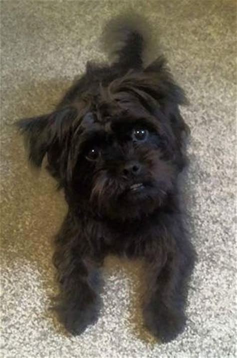 black yorkie mix puginese breed information and picturess