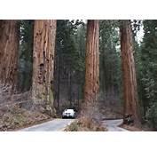 Parque Das Sequoias Gigantes Nos EUA Tem &225rvore De 83 M