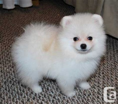 pomeranian ottawa pomeranian puppies for adoption ottawa for sale in ottawa ontario