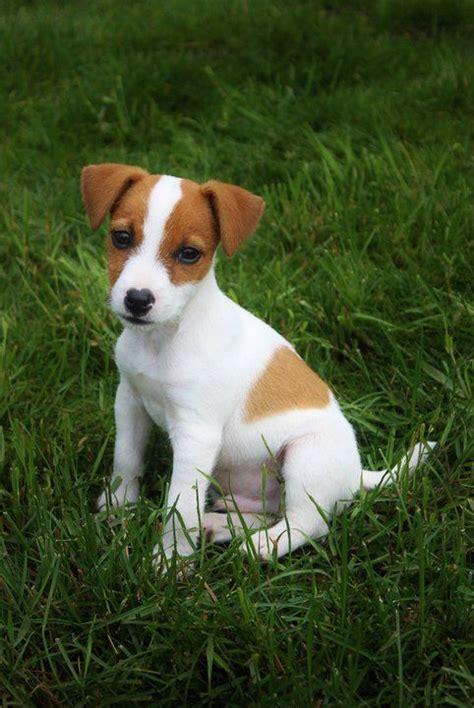 russel terrier puppy terrier puppy winston puppies terrier puppies