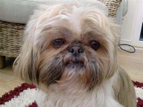 shih tzu labor razas de perros peque 241 os para personas mayores todas las que existen y cu 225 les