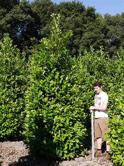 kirschlorbeer rotundifolia kaufen prunus laurocerasus rotundifolia kirschlorbeer