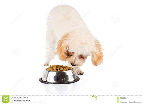 cute dog eating from bowl stock photo image 61440749 poodle puppy eating kibbles from a bowl in white