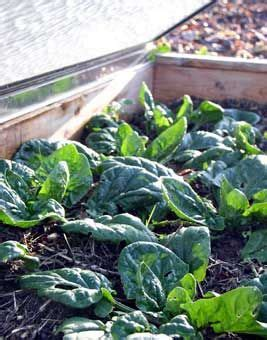 How To Grow Spinach In Winter Gardening Pinterest Cold Weather Vegetable Gardening