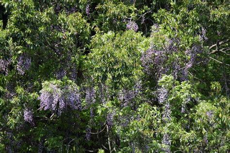 japanese wisteria invasive exotic plants of north