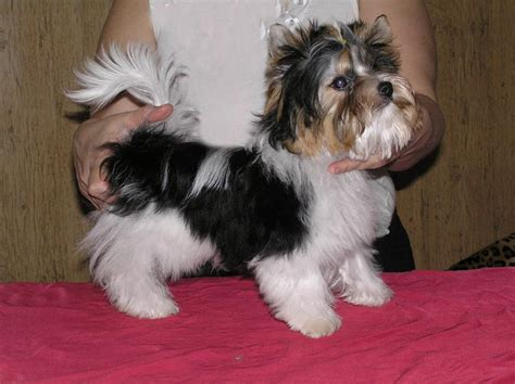 biewers yorkies biewer terrier info temperament puppies pictures